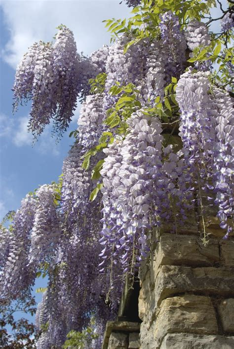 learn how to grow and care for wisteria vines