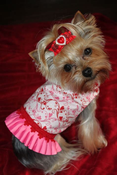 why is my yorkie so big 69 best images about puppies on yorkie puppies for sale terrier