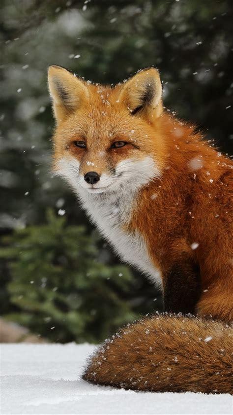 one fox brown fox