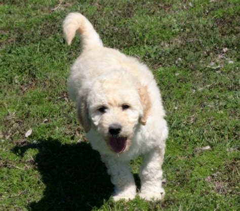goldendoodle puppies for sale in oklahoma puppies for sale puggle yorkie goldendoodle shorkie