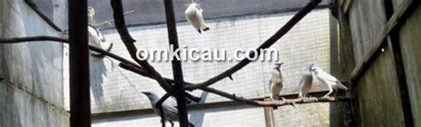 Kawat Ram Strimin penangkaran jalak bali kere ayem bf 2 konstruksi kandang harus tinggi klub burung