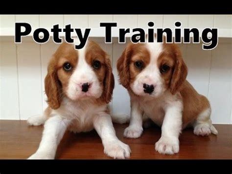 dog house training methods how to potty train a beaglier puppy beaglier house training tips housebreaking beaglier