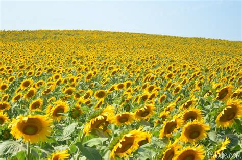 sunflowers in kansas sunflower kansas official state flowers pinterest