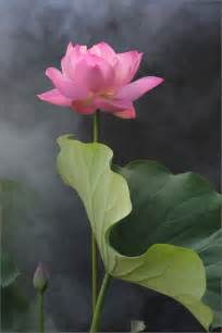 Lotus Enlightenment The Lotus Grows Out Of The Mud Through The Water And