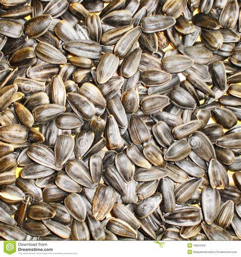 black sunflower seeds for humans black fried sunflower seeds stock images image 18534194