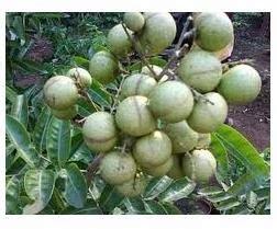 Bibit Kelengkeng Satu Jari kelengkeng aroma durian berbuah lebat