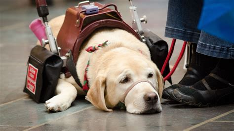 dogs to be service dogs a step by step guide to becoming a service rover
