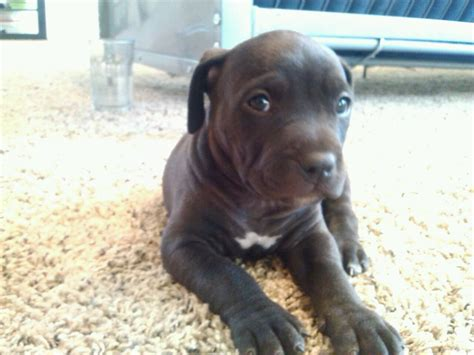black pitbull puppy all solid black nose pitbull black and white pitbull puppies