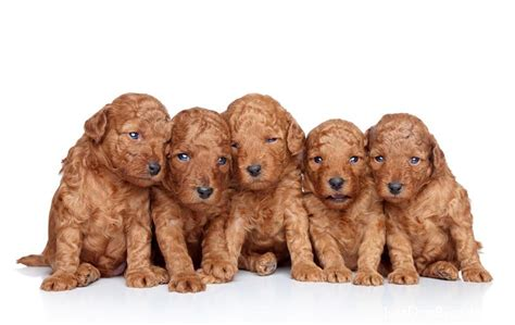 photoes of different types of poddles poodle toysd jpg poodle toy dog breeds