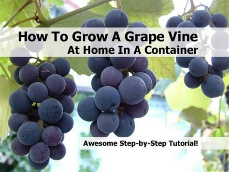 how to grow a grape vine at home in a container
