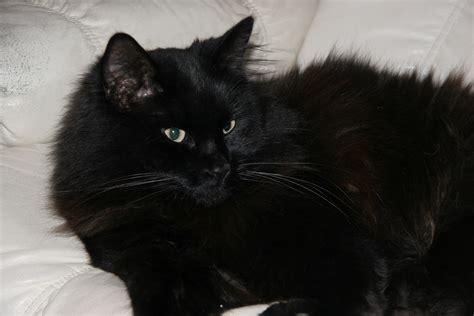 black kitten hd wallpaper black cat cute wallpapers hd wallpaper and white kittens