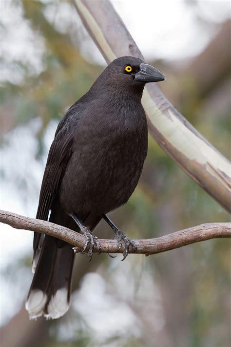 Black Currawong Wikipedia Black Bird