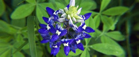 state flower of texas texas state flower www pixshark com images galleries