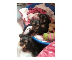 yorkie greenwood quality tiny yorkie puppies animals greenwood maine announcement 28018