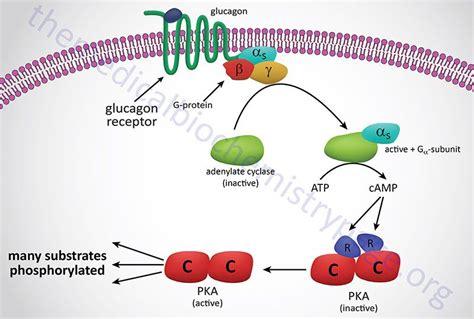 glucon d creatine glucagon mediated activation of pka photography