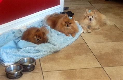 pomeranian bed the best way to clean pomeranian bedding