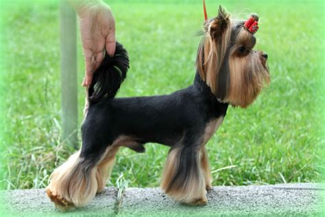 pictures of mini yorkies yorkie haircuts for males and females 60 pictures yorkie