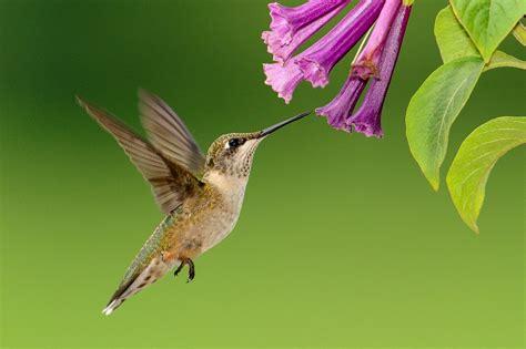free photo hummingbird flying feeding free image on