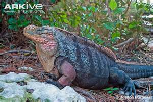 Iguana Island Northern Bahamian Rock Iguana Videos Photos And Facts