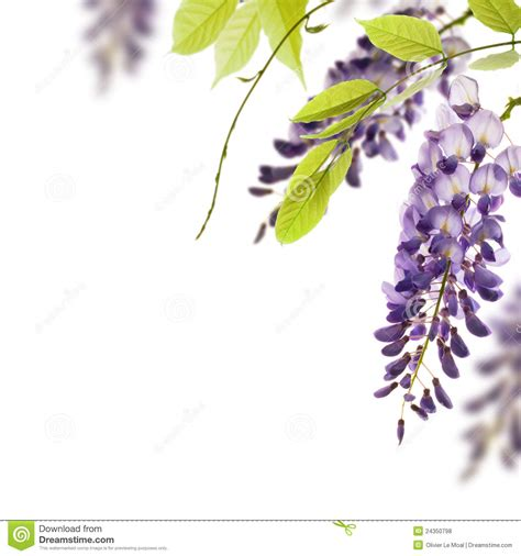 wisteria flowers floral design element stock photo