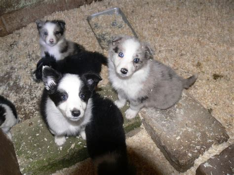 puppies for sale in boise puppies for sale boise id breeds picture