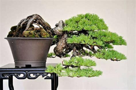 zen garden 27 photos home decor 11401 pines blvd 790 best green bonsai images on pinterest bonsai bonsai