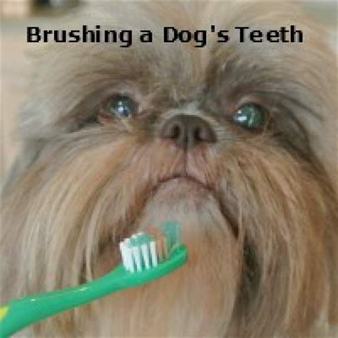shih tzu teeth cleaning grooming the shih tzu an overview