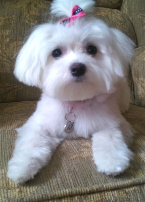 maltipoo puppy cut grooming maltipoo puppy cut rachael edwards