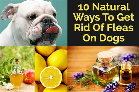 10 ways to get rid of fleas on dogs