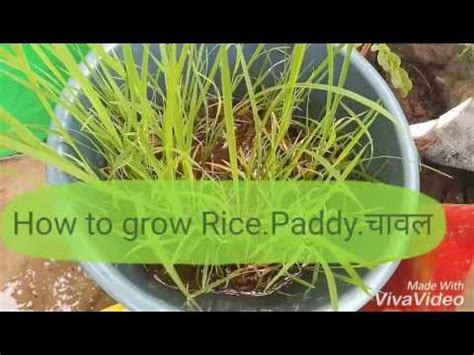 no 87 how to grow rice paddy च वल in a container pot