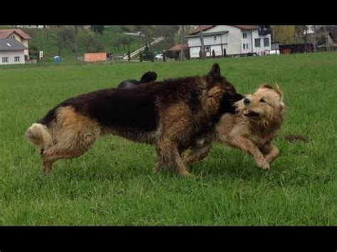 golden retriever vs german shepherd fight labrador vs german shepherd fight hd