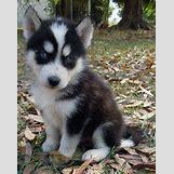 Cute Husky In Snow | 500 x 632 jpeg 80kB