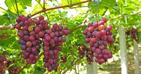 calorie uva da tavola health benefits of grapes how to the sweetest