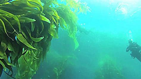 kelp bed point loma kelp forest to be tested for radiation from fukushima