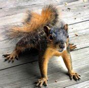 squirrels chewing decks tips for repelling squirrels how to repel squirrels i must garden