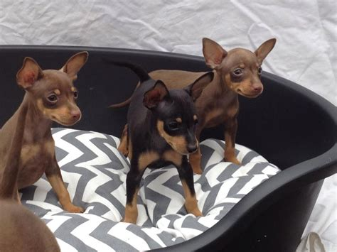 miniature pinscher puppies for sale for sale miniature pinscher pups for sale miniature pinscher puppies breeds picture