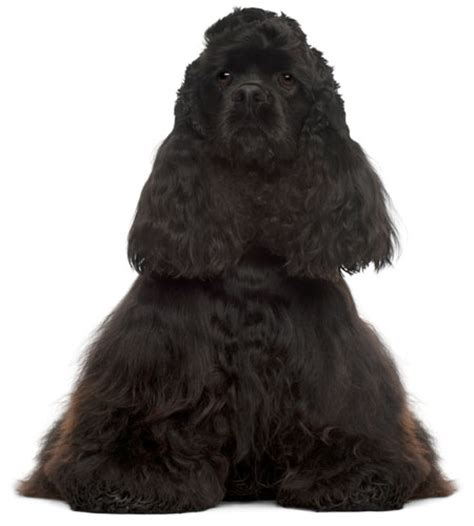 Cocker Spaniel Shedding Hair by Cocker Spaniel Information Facts Pictures And