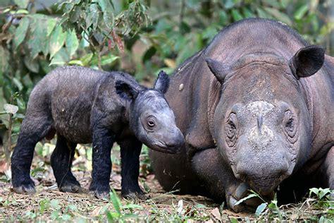 Sumatran rhino extinct in Malaysia: How can the species ...