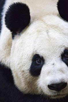 panda themes for iphone strawberry panda widget iphone theme wallpaper and