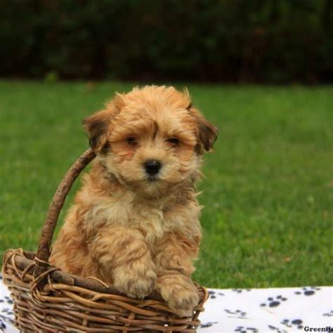 havanese puppy havanese puppies for sale breed profile greenfield puppies