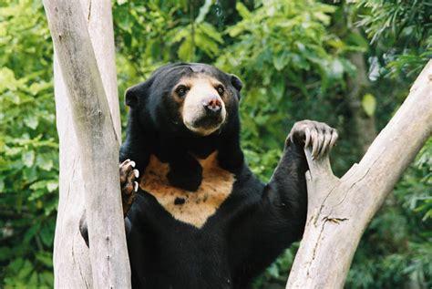 Javara Madu Hutan Hitam Kalimantan Black Honey sun animal wildlife