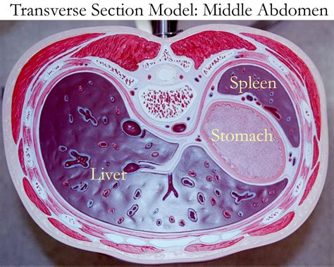 texas education code section 56 014 transverse section of liver 28 images transverse