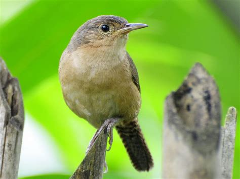 birds of the world wrens
