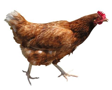Bibit Ayam Petelur Merah ayam unggas burung segala info dot