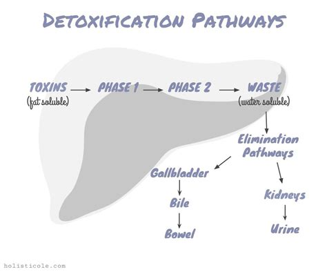Detox Pathways Blocked by Liver Detox Diagram Image Collections How To Guide And