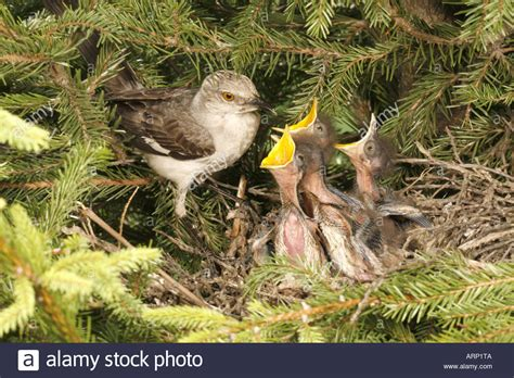 image gallery nestling mockingbird