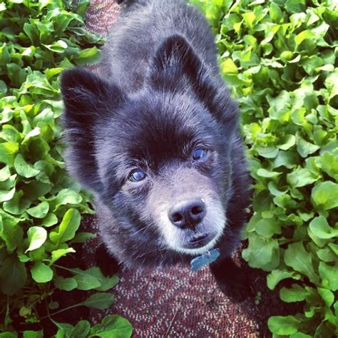 pomeranian schipperke pomeranian schipperke grown bored panda
