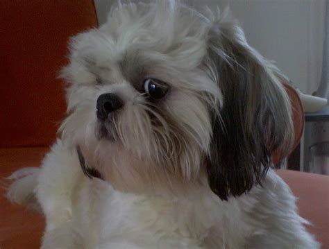 shih tzu and precious paws rescue of the day for 4 14 2012 grady white roney 2 yr 4 months from shih tzu