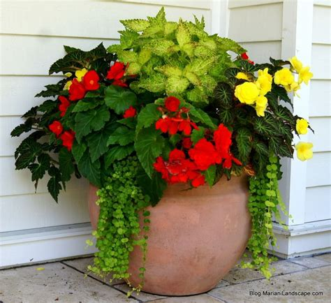 orange and yellow begonia with electric lime coleus and