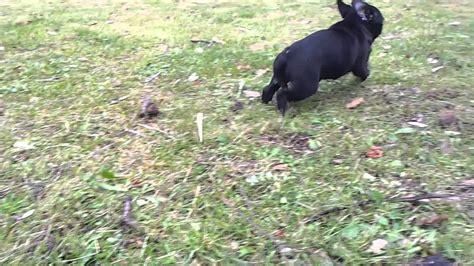 pug running b 233 b 233 carlin baby pug running outside pug